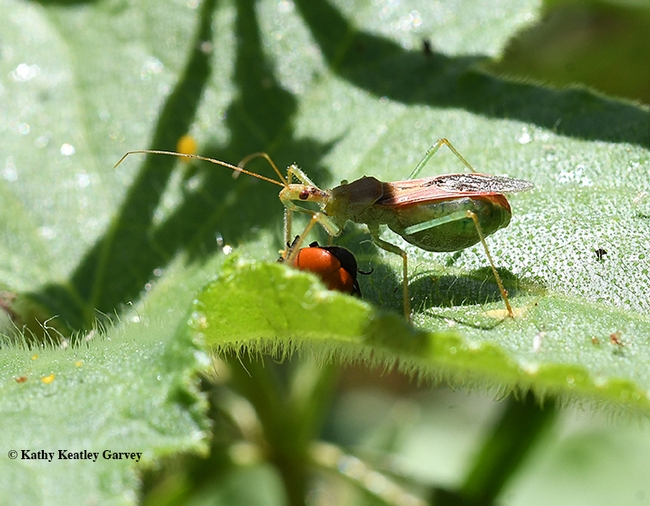Caught in the act!  An assassin bug, Zelus renardii, stabbing a lady beetle, aka lady bug. (Photo by Kathy Keatley Garvey)