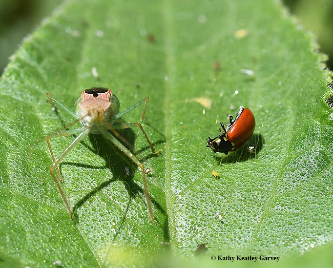 Who's next? The assassin bug, Zelus renardii, appears to be looking at the camera after killing a lady beetle, aka ladybug. (Photo by Kathy Keatley Garvey)