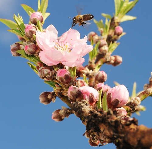 A HONEY BEE heads for the only blossom on the nectarine branch. (Photo by Kathy Keatley Garvey)
