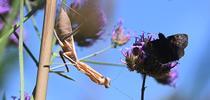 A female praying mantis, Stagmomantis limbata (as identified by praying mantis expert Lohit Garikipati of UC Davis) eyes a mourning cloak butterfly nectaring on verbena. (Photo by Kathy Keatley Garvey) for Bug Squad Blog