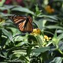 A female monarch fluttering around in the garden section of a home improvement store in Vacaville. She laid a number of eggs. (Photo by Kathy Keatley Garvey)
