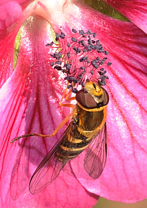 CLOSE-UP of hover fly, aka flower fly, on cape mallow. (Photo by Kathy Keatley Garvey)
