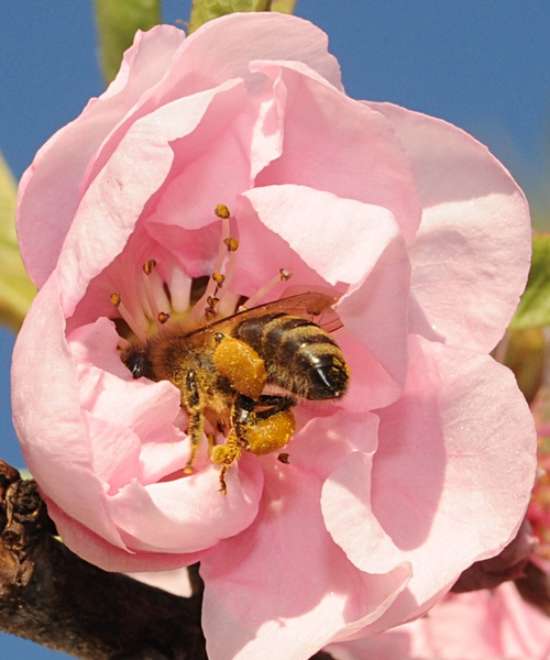 POLLEN-PACKIN' honey bee is headfirst inside a nectarine blossom. (Photo by Kathy Keatley Garvey)