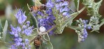 A crab spider nails a honey bee while another honey bee watches. This image, on bluebeard, Caryopteris x clandonensis, was taken in Vacaville, Calif. (Photo by Kathy Keatley Garvey) for Bug Squad Blog