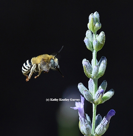 Anthophora urbana heading for lavender. (Photo by Kathy Keatley Garvey)