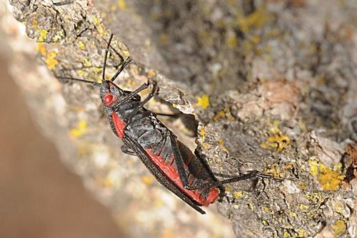Soapberry Bug