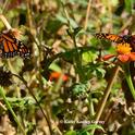 Two monarchs arrived today at a pollinator garden in Vacaville to sip nectar from a patch of Mexican sunflowers (Tithonia). (Photo by Kathy Keatley Garvey)