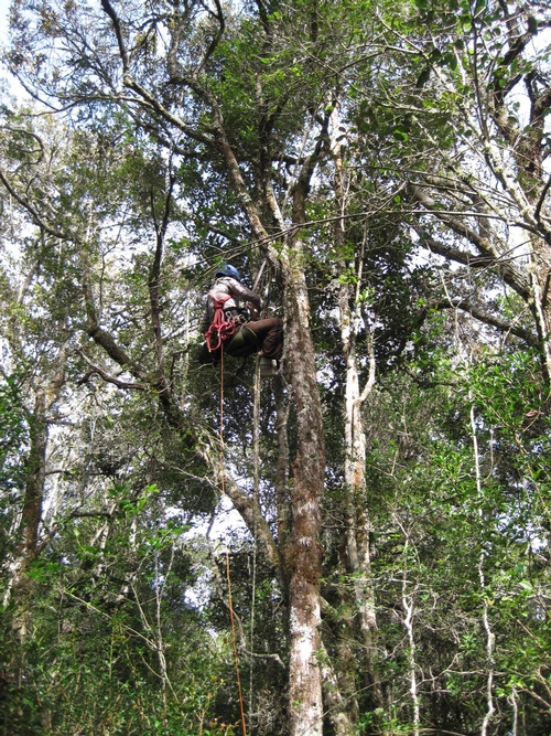 CANOPY WORK in the pursuit of the Crematogaster ants of  Madagascar. (Photo courtesy of Bonnie Blaimer)