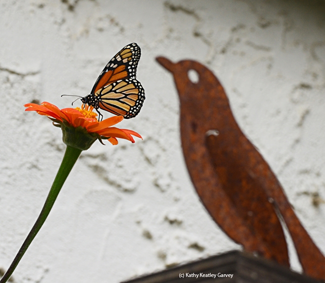 A monarch butterfly sips nectar from a Mexican sunflower (Tithonia) in front of a bird, decorative art. (Photo by Kathy Keatley Garvey)