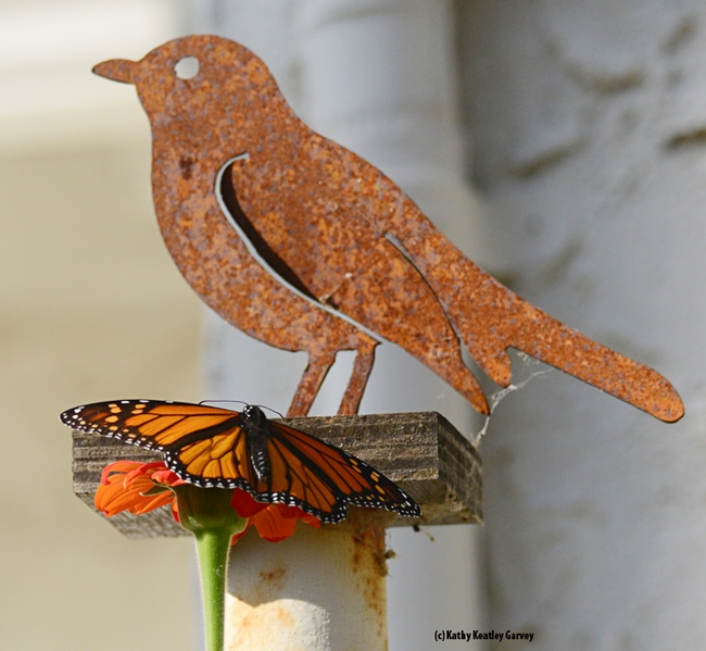 The monarch spreads its wings. The bird cannot. (Photo by Kathy Keatley Garvey)