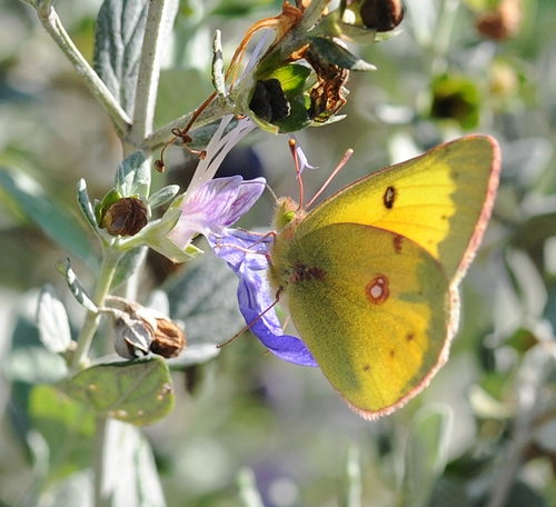 THIS IS a male orange sulphur butterfly (Colias eurythme), one of the scores of butterfly species that Art Shapiro monitors. This male was nectaring a bush germander on Feb. 7 at the Haagen-Dazs Honey Bee Haven, Harry H. Laidlaw Jr. Honey Bee Research Facility, UC Davis. (Photo by Kathy Keatley Garvey)
