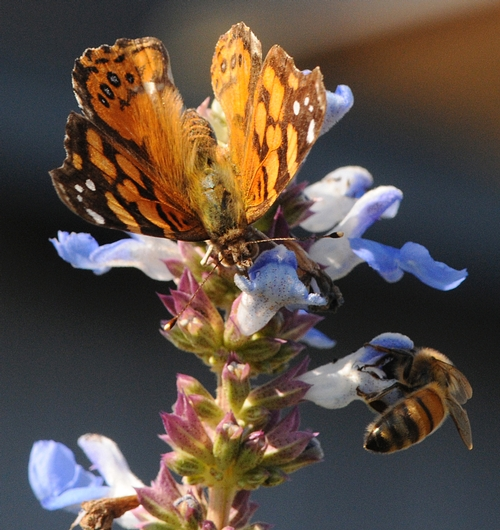 WEST COAST LADY (Vanessa annabella) and a honey bee (Apis mellifera) share a salvia. (Photo by Kathy Keatley Garvey)