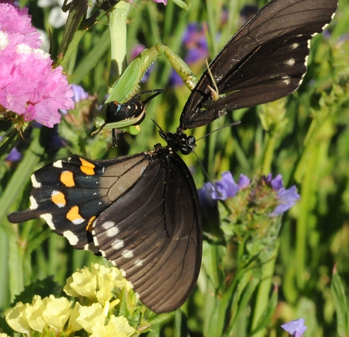 It was the last flutter for this pipevine swallowtail butterfly after a praying mantis snared it. (Photo by Kathy Keatley Garvey)
