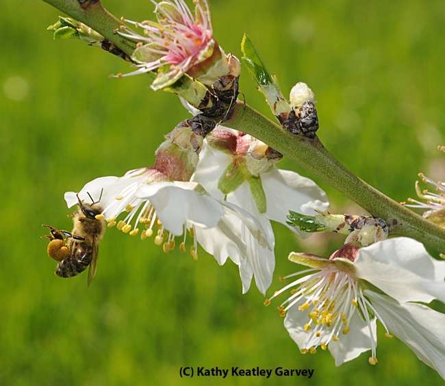 A honey bee packing pollen and nectaring on an almond blossom at UC Davis. (Photo by Kathy Keatley Garvey)