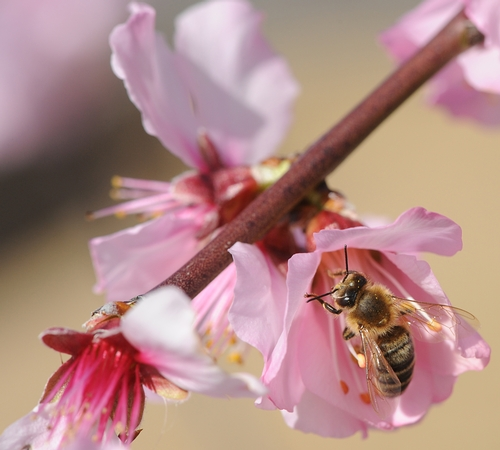 HONEY BEE zeroes in on an almond blossom. (Photo by Kathy Keatley Garvey)