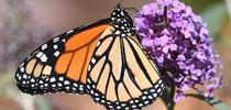 A male monarch nectars on a butterfly bush in Vacaville, Calif. on Oct. 12, 2019. (Photo by Kathy Keatley Garvey) for Bug Squad Blog