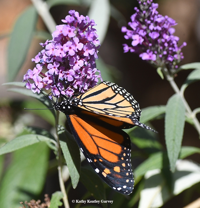 Showing his colors, the male monarch adjusts his position on a butterfly bush on Oct. 12 in Vacaville, Calif. (Photo by Kathy Keatley Garvey)