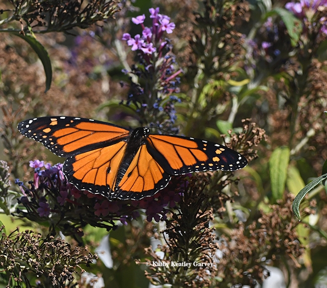 The male monarch takes flight. (Photo by Kathy Keatley Garvey)