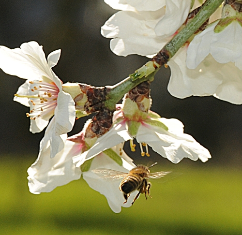 Bee on almond
