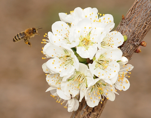 HONEY BEE from the Harry H. Laidlaw Jr. Honey Bee Research Facility, UC Davis, heads toward a plum blossom in the Haagen-Dazs Honey Bee Haven, a half-acre bee friendly garden on Bee Biology Road. The garden is open dawn to dusk at no charge.  (Photo by Kathy Keatley Garvey)