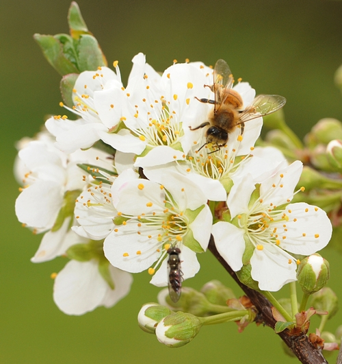 A HONEY BEE and a hover fly, aka flower fly, share a plum blossom. (Photo by Kathy Keatley Garvey)