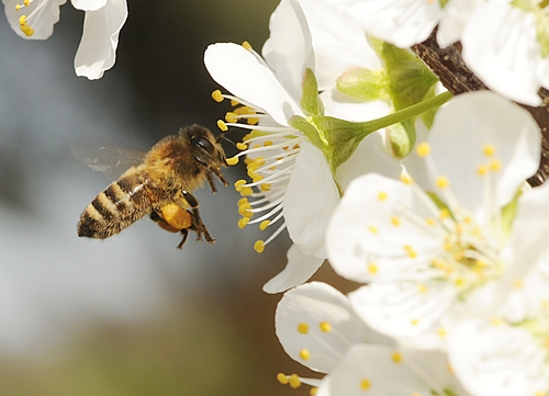 PACKING a heavy load of pollen, a honey bee buzzing  toward a plum blossom appears to be