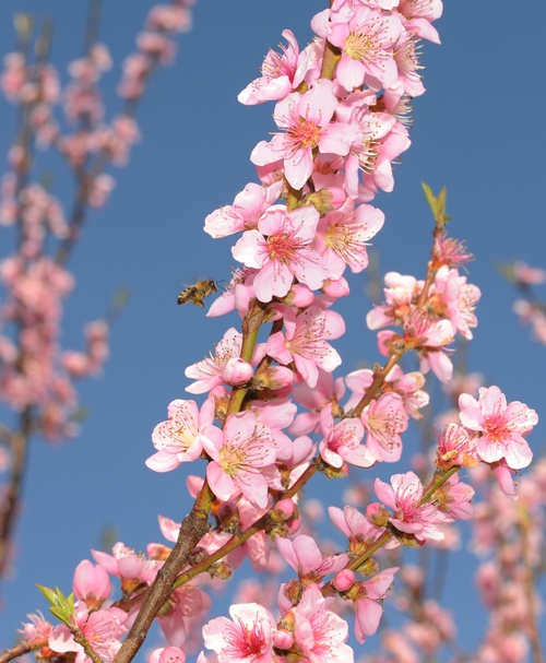 HONEY BEE  heads for the highest blossoms in a UC Davis peach orchard. (Photo by Kathy Keatley Garvey)