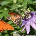 A Gulf Fritillary nectars the blossom of a passionflower vine, its host plant, while another Gulf Frit flutters in. (Photo by Kathy Keatley Garvey)