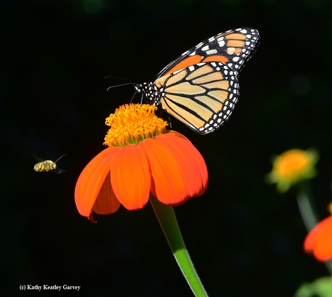 A native bee,  Melissodes agilis targets a monarch on a Mexican sunflower (Tithonia). (Photo by Kathy Keatley Garvey)