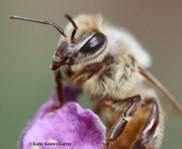 The honey bee is responsible for pollinating about one-third of the food in our diet. (Photo by Kathy Keatley Garvey)