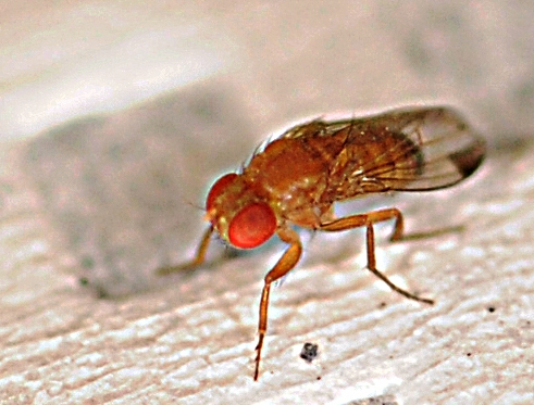 Close-up of Drosophila