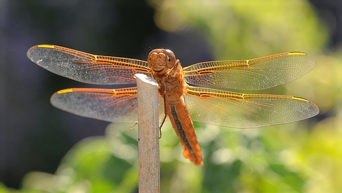 CAMPERS in the Bio Boot Camp may see this dragonfly, a flame skimmer, on the UC Davis campus or at the Sagehen Creek Field Station. (Photo by Kathy Keatley Garvey)