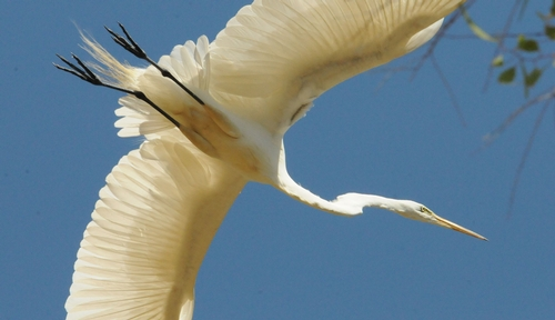 YOUTHS participating in Bio Boot Camp may see a variety of birds, including a great egret. (Photo by Kathy Keatley Garvey)