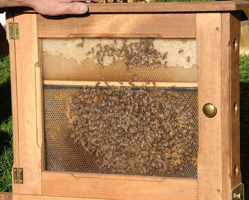 WHAT'S all the buzz about? The bee observation hive. Just as in past years, the California State Beekeepers' Association will display a bee observation hive on California Ag Day on March 23 on the state capitol grounds. (Photo by Kathy Keatley Garvey)
