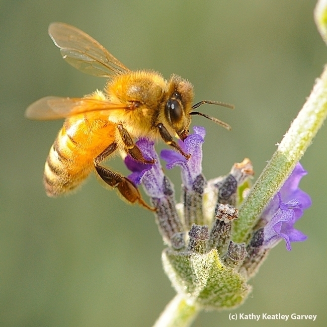 A golden bee, a Cordovan, sipping nectar on a lavender blossom in Vacaville, Calif. (Photo by Kathy Keatley Garvey)