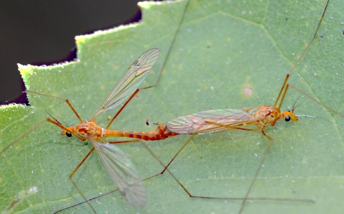 These two crane flies, also known as mosquito hawks, are in love. (Photo by Kathy Keatley Garvey)