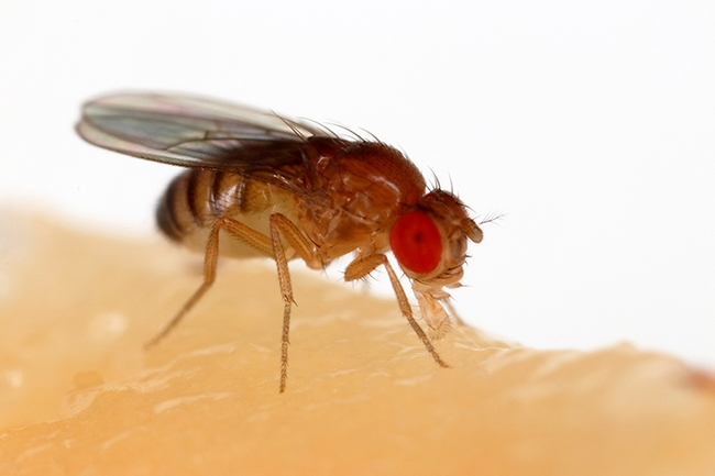 This is an image of a fruit fly, Drosophila melanogaster, an insect that researcher Karen Menuz, who will present a seminar Jan. 8 at UC Davis, studies. She and colleague Pratyajit Mohapatra recently published research on