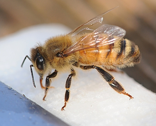 Honey Bee on Napkin