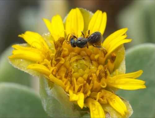 Fran Keller captured this photo of a halictid bee on Borrichia (seaside tansy). It's included in her Bahamas gallery on her Web site at www.tenebrionid.net.