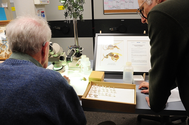 Ants will be the topic of Zachary Griebenow of the Phil Ward lab, UC Davis Department of Entomology and Nematology. This image shows emeritus professor Jerry Powell of UC Berkeley identifying insects at the Bohart Museum of Entomology. (Photo by Kathy Keatley Garvey)