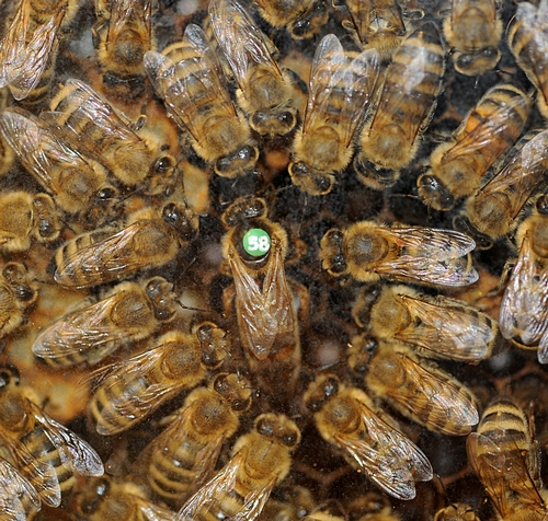 QUEEN BEE and her retinue at the Harry H. Laidlaw Jr. Honey Bee Research Facility, UC Davis. (Photo by Kathy Keatley Garvey)