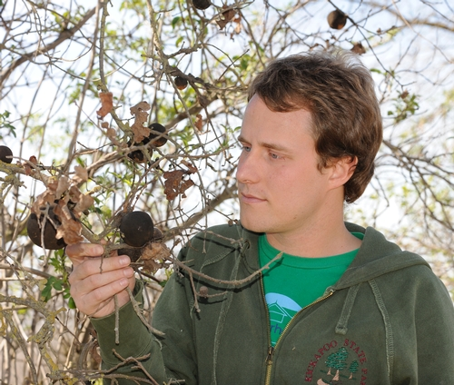 RESEARCHER Ian Pearse, a doctoral candidate who studies with major professor Rick Karban at the UC Davis Department of Entomology, examines some oak apple galls. (Photo by Kathy Keatley Garvey)