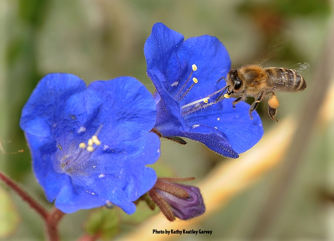 A honey bee foraging on a desert bell, Phacelia campanularia,  an annual herb that is native to California. (Photo by Kathy Keatley Garvey)