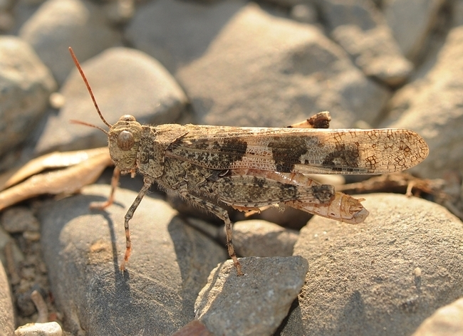 This is a banded-wing grasshopper, family Acrididae. This image was taken in Vacaville, Calif. (Photo by Kathy Keatley Garvey)