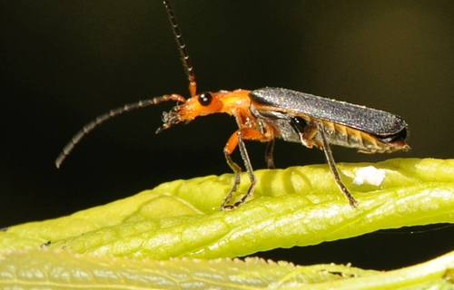 SOLDIER BEETLE, perched on a plum tree leaf, checks it surroundings. It's an avid aphid-eater. (Photo by Kathy Keatley Garvey)