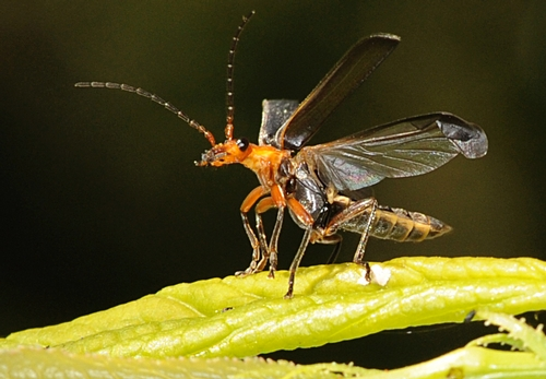 SOLDIER BEETLE opens its wings, ready to take flight. This insect is also called a