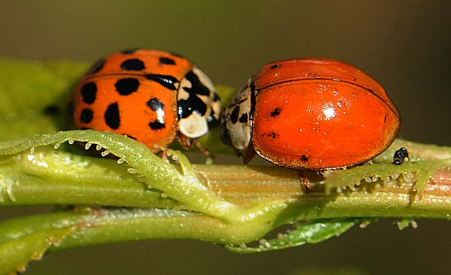 Two ladybugs converging on a plum tree leaf. (Photo by Kathy Keatley Garvey)
