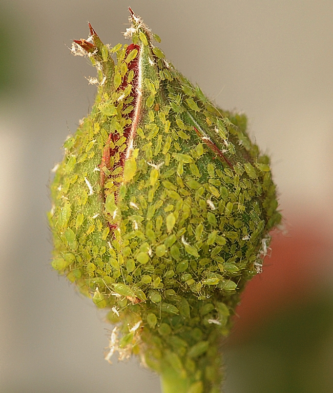 Aphids covering a rosebud. (Photo by Kathy Keatley Garvey)