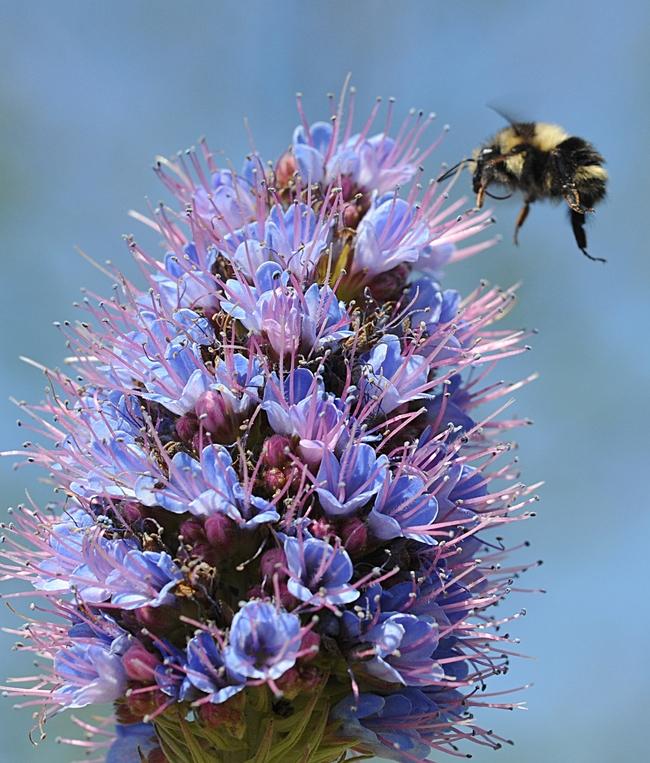 Bombus melanopygus heading toward the Pride of Madeira, Echium candicans. (Photo by Kathy Keatley Garvey)