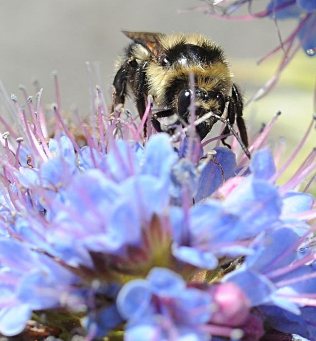 Peek-a-bee: Bombus melanopygus peers beneath the petals of an Echium candicans, also known as the Pride of Madeira. (Photo by Kathy Keatley Garvey)